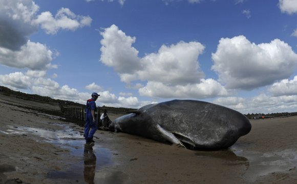 A sperm whale which died after