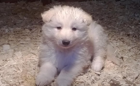 White Shepherd Puppies: Pure