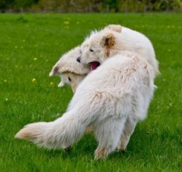 2 white german shepherds playing in the gsdr stroll