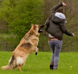 gsd leaping up at his owner