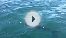 Is this a Great White Shark off Cornwall?